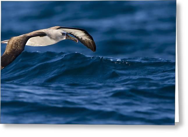 Albatross of the Deep Blue Greeting Card by Basie Van Zyl