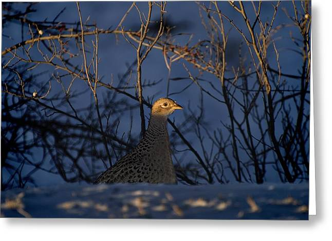 Temperature Greeting Cards - Alberta, Canada Female Ring-necked Greeting Card by Philippe Widling