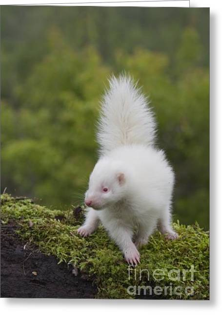 Baby Skunk Greeting Cards - Albino Striped Skunk  Greeting Card by Tammy Wolfe