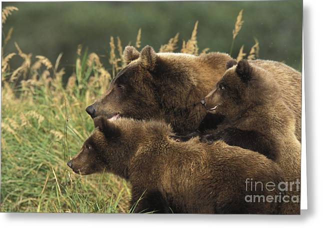 Born Adult Greeting Cards - Alert Bear Family Greeting Card by Tim Grams