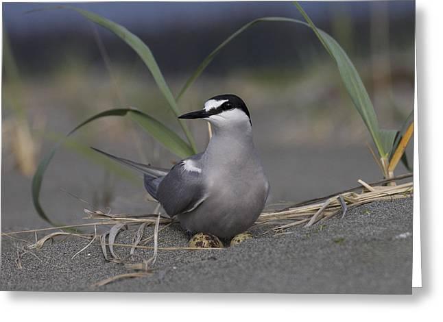 Tern Greeting Cards - Aleutian Tern Sterna Aleutica On Ground Greeting Card by Matthias Breiter