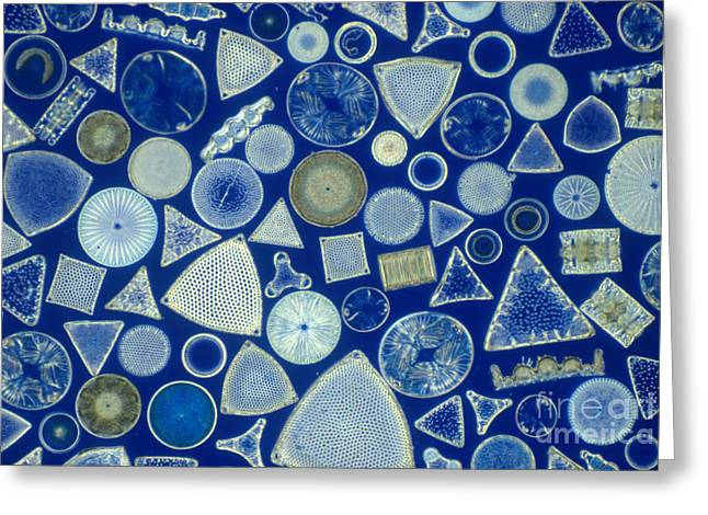 Fossilized Shell Greeting Cards - Algae, Fossil Diatoms, Lm Greeting Card by M. I. Walker