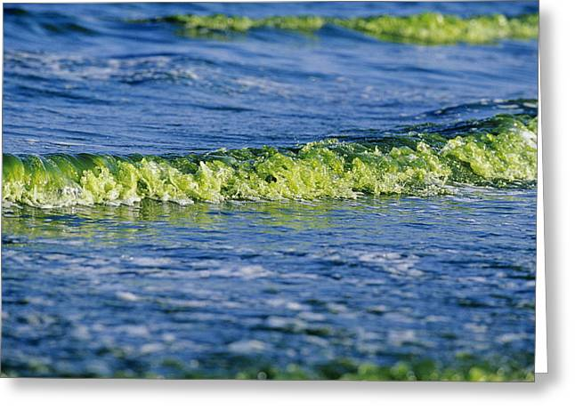 Algal Photographs Greeting Cards - Algal Bloom Greeting Card by Alexis Rosenfeld