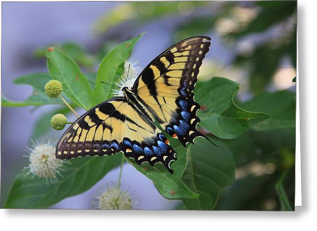 Tiger Swallowtail Digital Art Greeting Cards - Alight Greeting Card by Shari Jardina