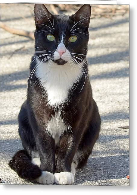 Black Greeting Cards - Alley Cat Greeting Card by Lisa  Phillips