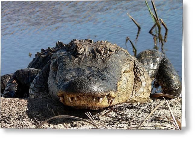 Approach Digital Art Greeting Cards - Alligator Approach - Digital Art Greeting Card by Al Powell Photography USA