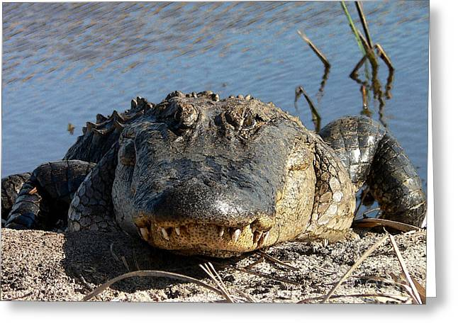 Al Powell Photography Usa Greeting Cards - Alligator Approach - Digital Art Greeting Card by Al Powell Photography USA