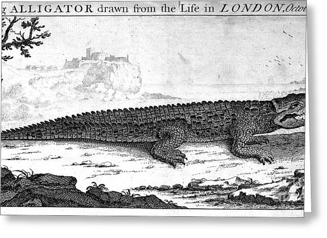 1752 Greeting Cards - Alligator Greeting Card by Granger