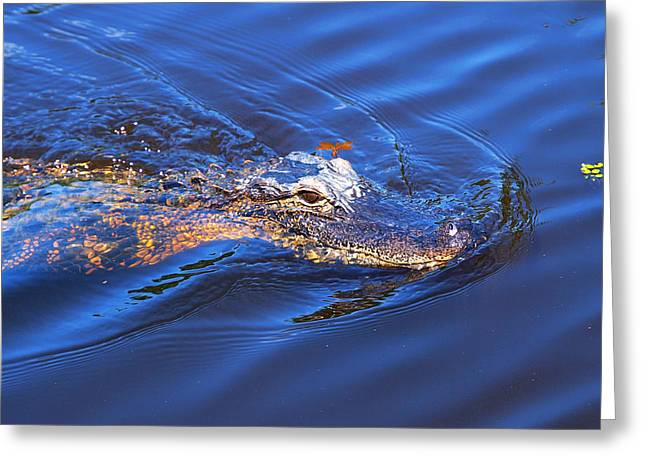 Mississippi Photographs Greeting Cards - Alligator in Mississippi river Greeting Card by Paul Ge