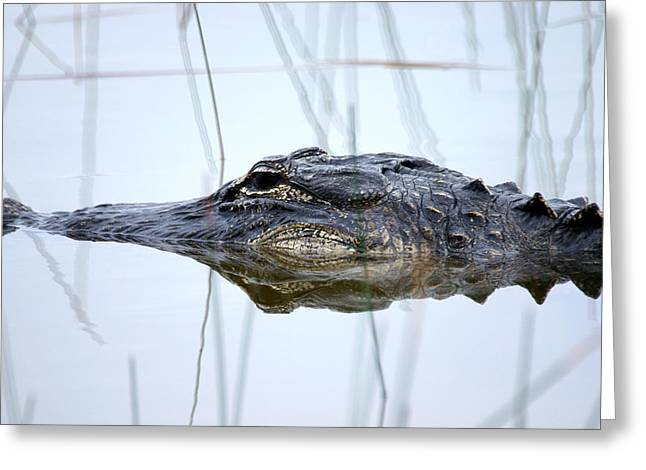 Florida Gators Greeting Cards - Alligator in the Everglades Greeting Card by Randall Nyhof