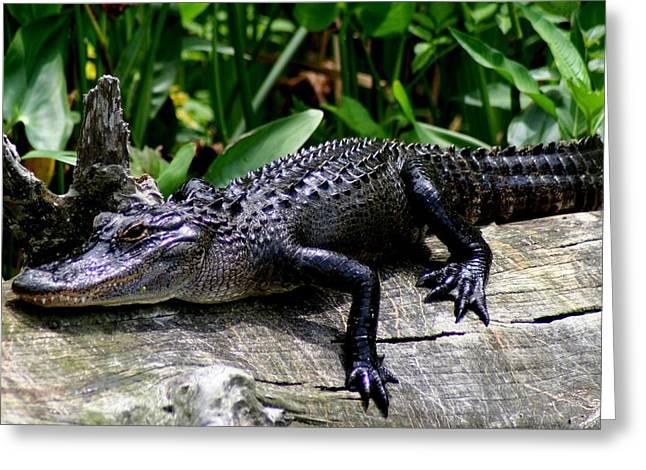 Florida Gators Greeting Cards - Alligator on Log Greeting Card by Lisa Scott