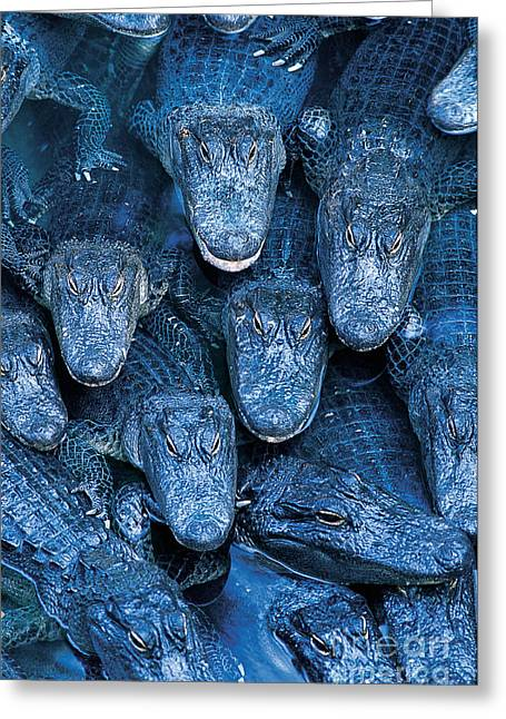 Alligator Greeting Cards - Alligators Greeting Card by Gary Meszaros and Photo Researchers