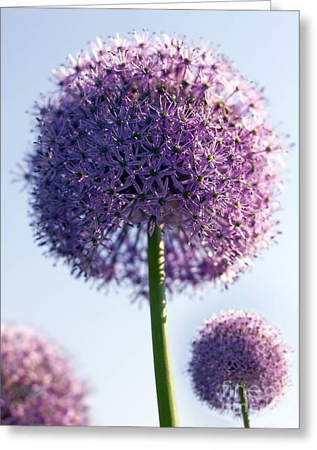 Liliaceae Greeting Cards - Allium Flower Greeting Card by Tony Cordoza
