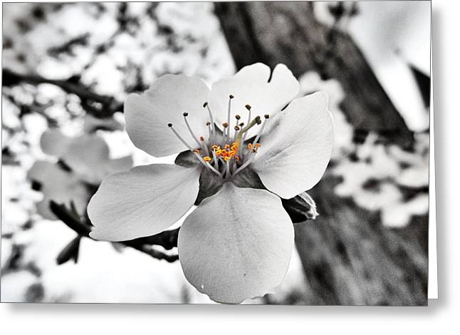 Almond Blossom Greeting Card by Marianna Mills