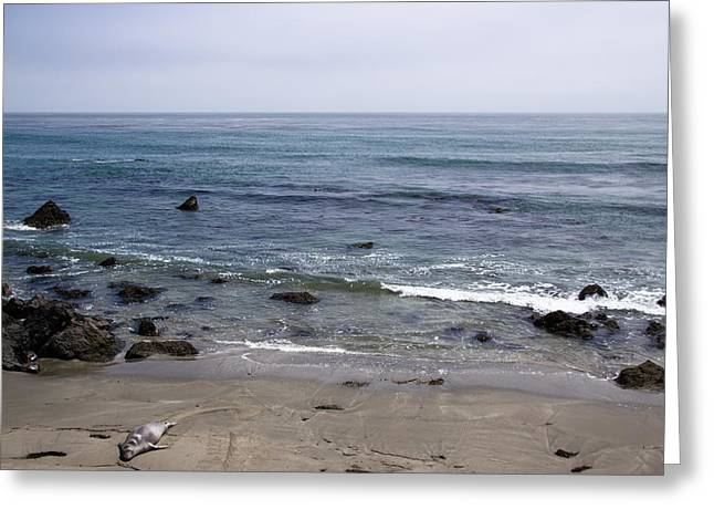 Elephant Seals Greeting Cards - Alone On The Beach Greeting Card by Heidi Smith