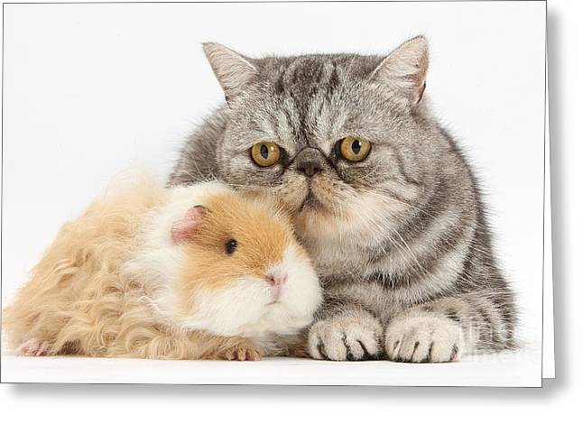 Cavy Greeting Cards - Alpaca Guinea Pig And Silver Tabby Cat Greeting Card by Mark Taylor