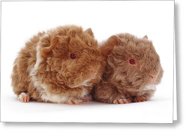 Piglets Greeting Cards - Alpaca Guinea Piglets Greeting Card by Jane Burton