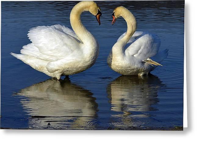 Alpha swan Greeting Card by Brian Stevens