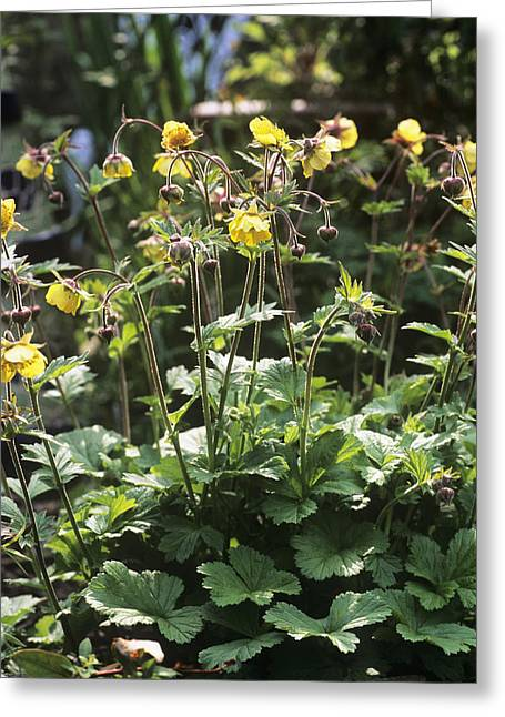 Avens Greeting Cards - Alpine Avens (geum Montanum) Greeting Card by Adrian Thomas