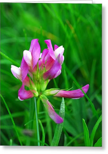 Murren Greeting Cards - Alpine Clover In Bloom Greeting Card by Anne Keiser