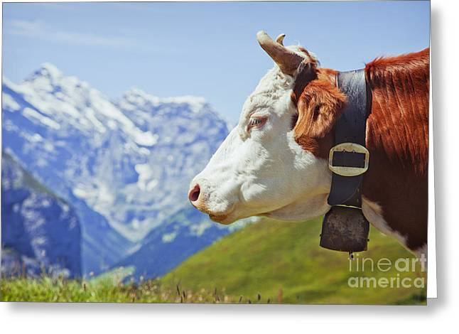 Alpine Cow Greeting Card by Greg Stechishin