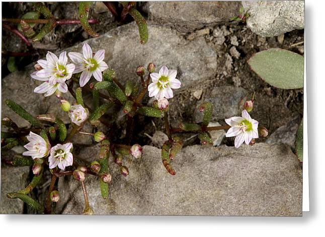 Botanical Greeting Cards - Alpine Lewisia (lewisia Pygmaea) Greeting Card by Bob Gibbons