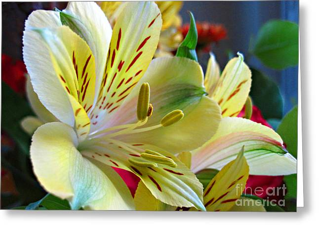 Lily Of The Incas Greeting Cards - Alstroemeria Greeting Card by Addie Hocynec
