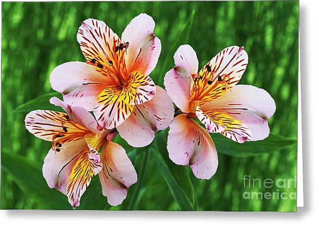 Peruvian Lily Greeting Cards - Alstroemeria princess Alice Greeting Card by Archie Young