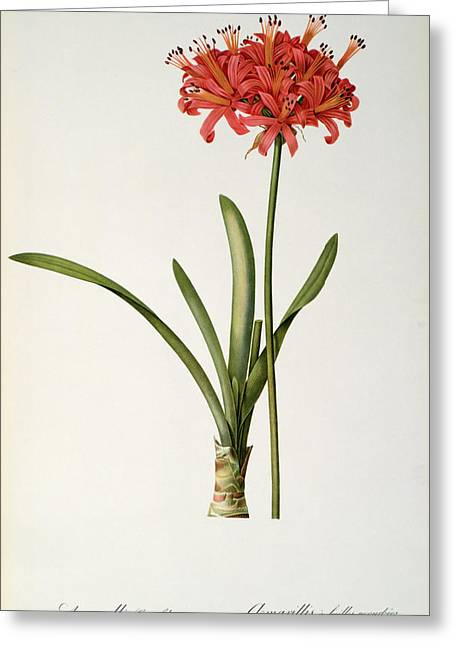 Best Sellers -  - Coloured Greeting Cards - Amaryllis Curvifolia Greeting Card by Pierre Redoute