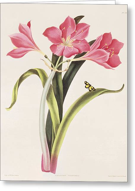 Selection Greeting Cards - Amaryllis purpurea Greeting Card by Robert Havell