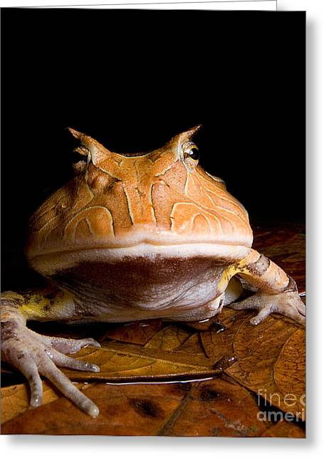 Anuran Greeting Cards - Amazonian Horned Frog Greeting Card by Danté Fenolio