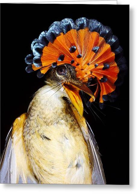 Tyrant Greeting Cards - Amazonian Royal Flycatcher Greeting Card by Dr Morley Read