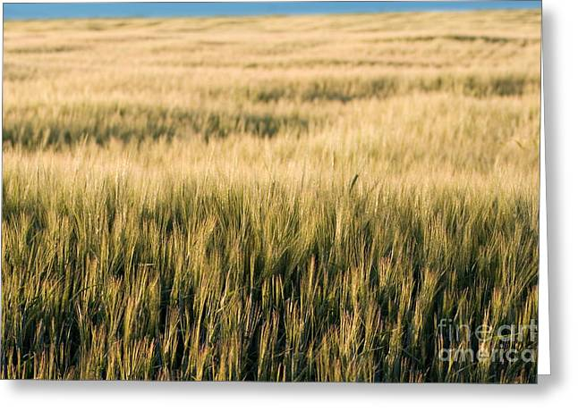 Idaho Photographer Photographs Greeting Cards - Amber Waves of Grain Greeting Card by Cindy Singleton