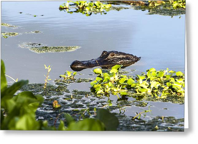 Wild Bird Greeting Cards - American Alligator emerges Greeting Card by Ellie Teramoto