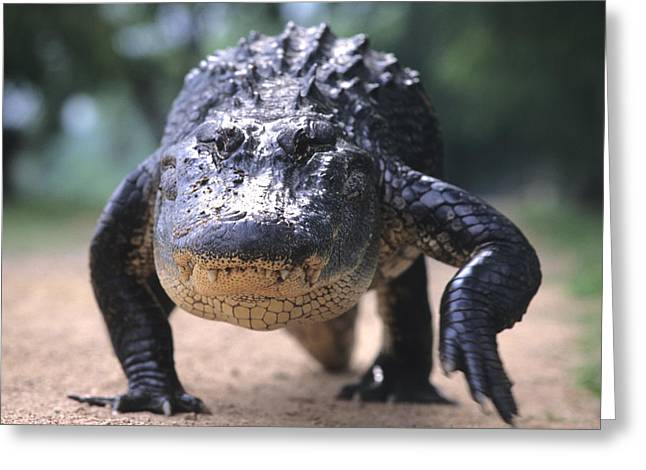 Ferocity Greeting Cards - American Alligator Walking On A Trail Greeting Card by Philippe Henry