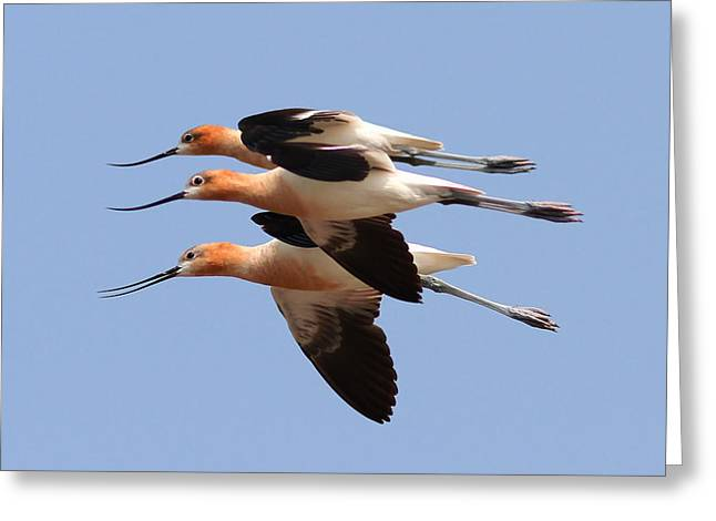 American Avocets Greeting Card by Phil Lanoue