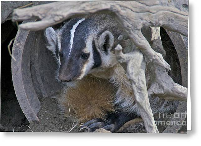 Sean Griffin Greeting Cards - American Badger Habitat Greeting Card by Sean Griffin
