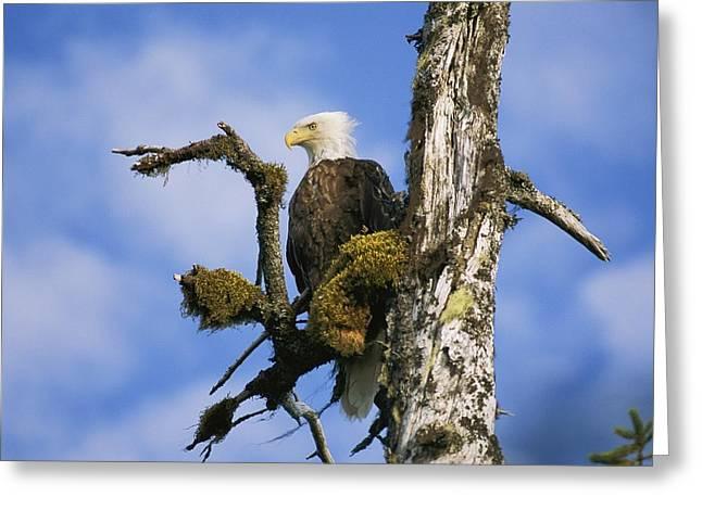 Prince William Greeting Cards - American Bald Eagle Haliaeetus Greeting Card by Rich Reid