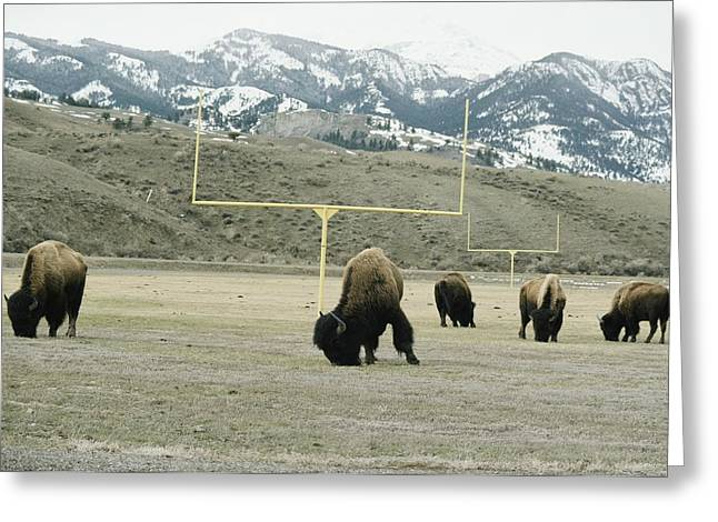 Goalpost Greeting Cards - American Bison Bison Bison Graze Greeting Card by Tom Murphy