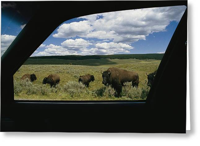 Refuges And Reserves Greeting Cards - American Bison Bison Bisonphotographed Greeting Card by Raymond Gehman
