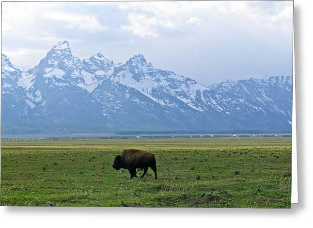 Grazing Snow Greeting Cards - American Buffalo 14 Greeting Card by Douglas Barnett