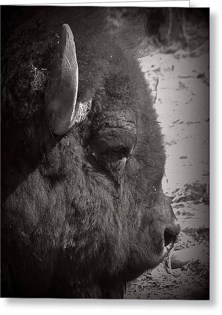 Buffalo Greeting Cards - American Buffalo Greeting Card by Lori Seaman