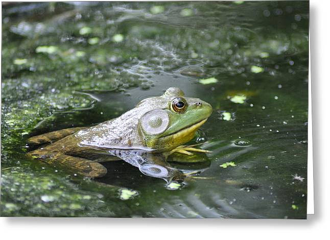 American Bull Frog Greeting Card by Bill Cannon