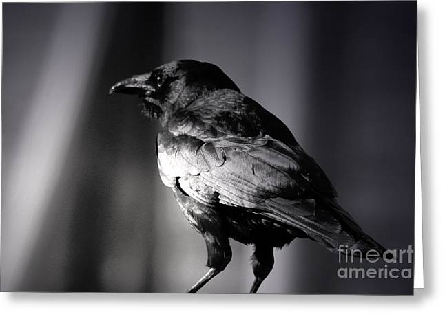 American Crow Greeting Cards - American Crow Greeting Card by C E Dyer