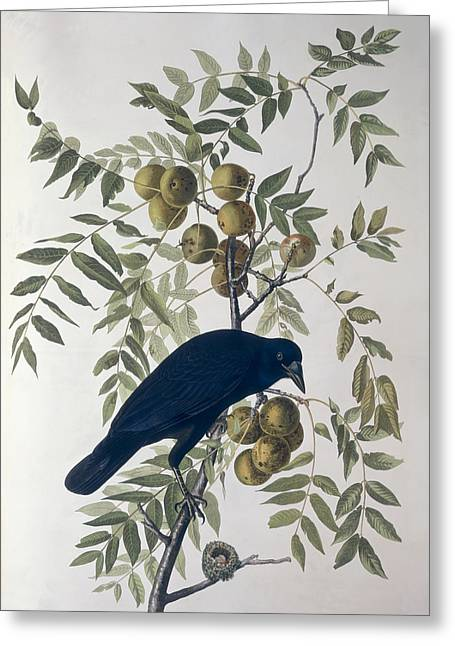 Best Sellers -  - Coloured Greeting Cards - American Crow Greeting Card by John James Audubon