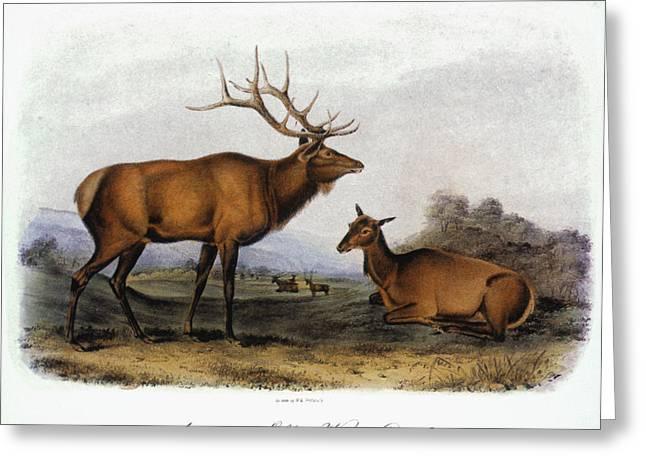 Audubon Greeting Cards - American Elk, 1846 Greeting Card by Granger