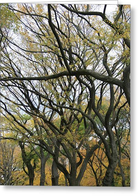 Elm Photographs Greeting Cards - American Elms of Central Park Greeting Card by Christopher Kirby