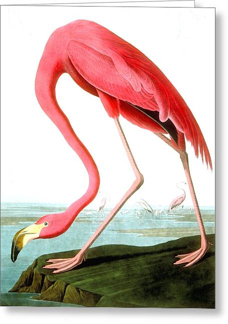 Animals Greeting Cards - American Flamingo Greeting Card by John James Audubon