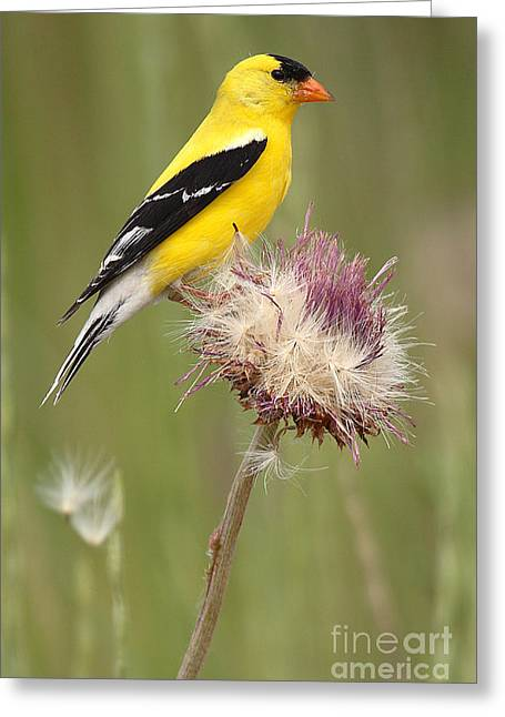 American Goldfinch Greeting Cards - American Goldfinch On Summer Thistle Greeting Card by Max Allen