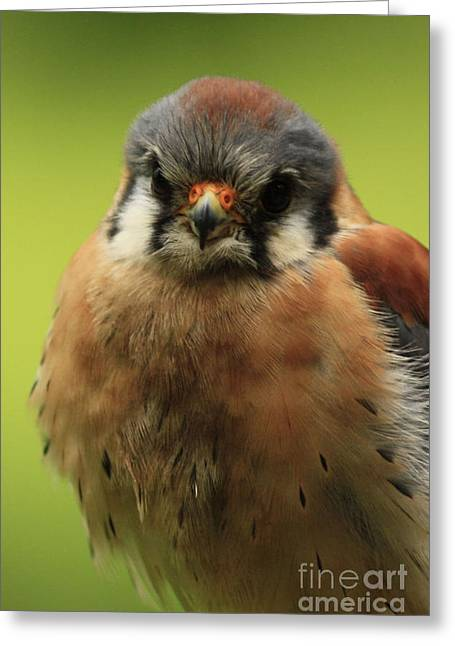 Shelley Myke Greeting Cards - American Kestral Watching You Greeting Card by Inspired Nature Photography By Shelley Myke